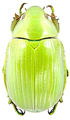 Chrysina_costata