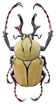 Dicronocephalus wallichi Hope, 1831 (Scarabaeidae) Thailand