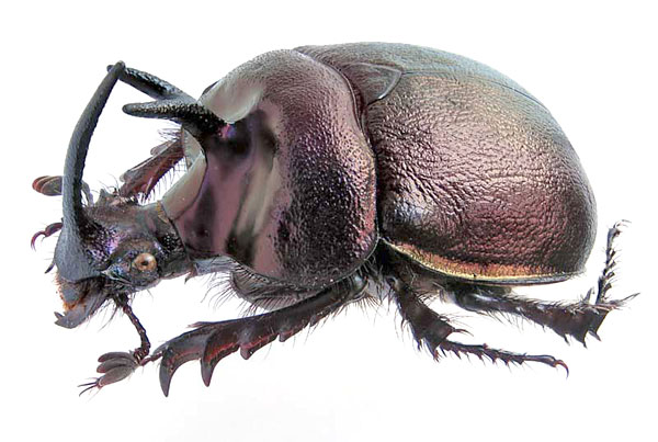 Enoplotrupes_sharpi