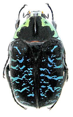 Euchroea coelestis Burmeister, 1842 (Scarabaeidae) Madagascar, Beharasy, V.1998