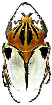 Goliathus cacicus Olivier, 1789 (Scarabaeidae) Ivory Coast, Tsi forest, X.2001
