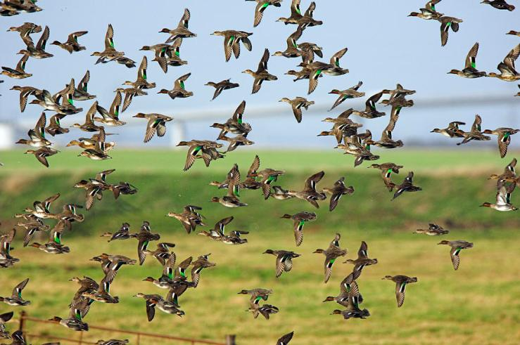 flock-of-common-teal-duncan-shaw